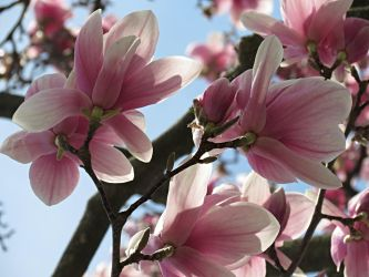 Magnolias (4) by Michies-Photographyy