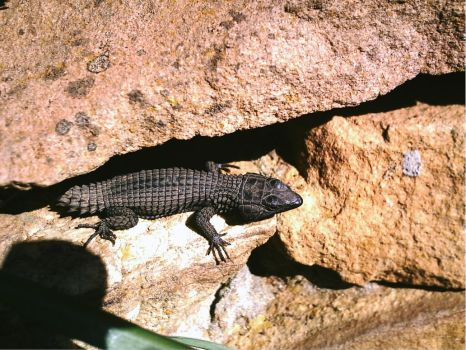 Lizard in the Rocks. by emmaclairemercedes