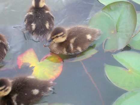 Duckling Closeup by The-Ice-Youkai