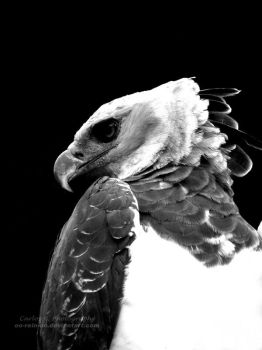 Harpy Eagle by oO-Rein-Oo