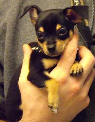 Chihuahua Puppy In Safe Hands by Guardfather