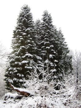 Fir tree in snow by chop-stock