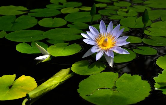 Water Lily by PaulWeber