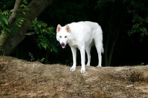 Northern Inuit Dog 5 by genisisone