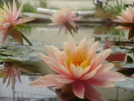 water lilly quad by royal-randomness