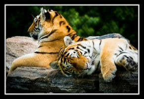 Siberian Tigers - Young by Tonicwind