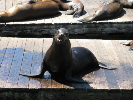 Wild Sea Lion on a Pier by MissBuffySpears