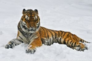 Siberian Tiger by amrodel