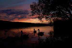 Swans Sunset by GiZmO0o