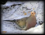 Lonely Mourning Dove by JocelyneR