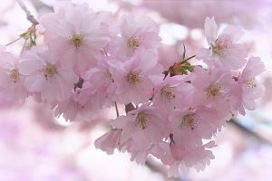 Dreaming of cherry blossoms by hv1234