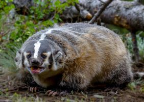 Cranky Badger... by White-Voodoo