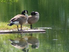 Canada Goose by Deathbypuddle