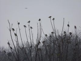 Goldfinch flock by mossagateturtle
