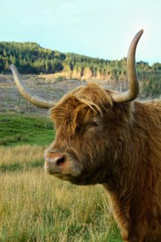 The Highland Cow by StephenJohnSmith