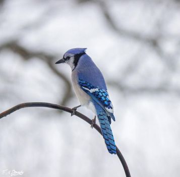 Blue Jay in February by Nini1965
