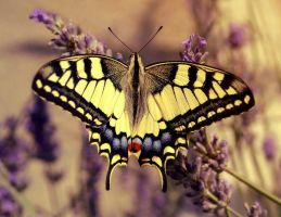 Swallowtail by Aeylan