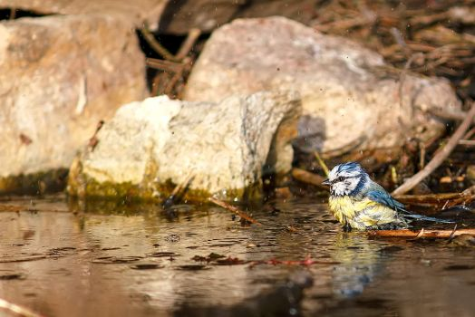 Cyanistes caeruleus by coloridas-aves