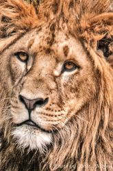 young lion by brijome