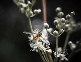 Hoverfly by Tazni