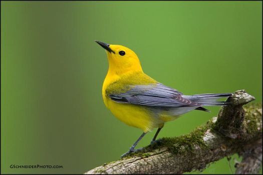 Prothonotary Warbler by gregster09