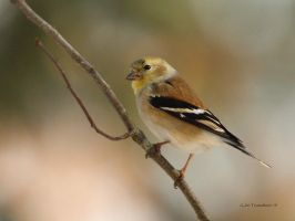 American Goldfinch by natureguy