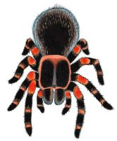 Mexican Red-kneed Tarantula by NocturnalSea
