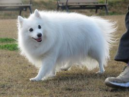 Japanese Spitz'6 by SheltieWolf