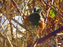 Dead Blackberry Towhee by wolfwings1