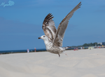 young seagull by MyosotisPhoto