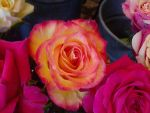 Roses 4 by greenaleydis-stock
