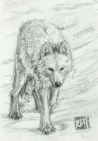 arctic wolf by TS-cat