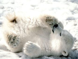 Baby Polar bear by ptukey