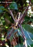 St Andrews Cross Spider by BreeSpawn