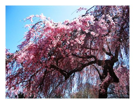 Cherry Blossoms. by imagemystique