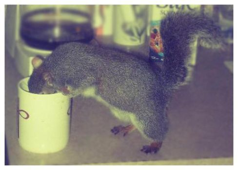 Squirrel on Coffee by Squeemishness
