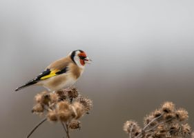 European goldfinch by ErikEK