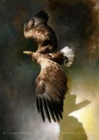 White-tailed eagle by Heliocyan