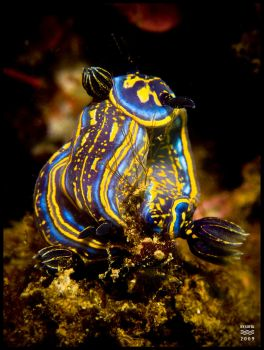 Nudibranch Menage a Trois by BySofia