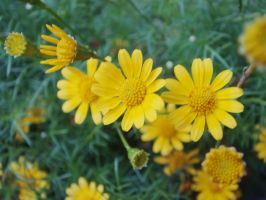 The yellow tiny flowers by pueng2311