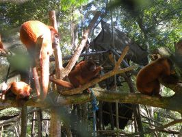 Howler Monkeys to be released in the wild by Muirava