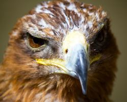 Kahn the male Golden Eagle close up by Steve-FraserUK