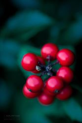 Holly Berry by Smurfage