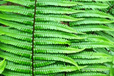 Fern by The-Baron