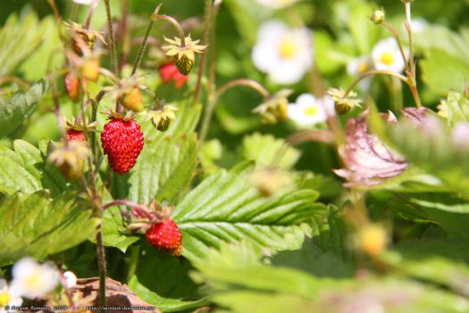 Fragaria by aerotem