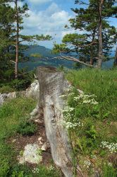 Tree Trunk and Pines by AgiVega