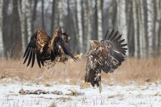 White-Tailed Eagle Fight by DominikaAniola