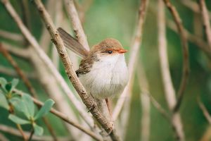 Happy Fairy wren by Whimsical-Dreams