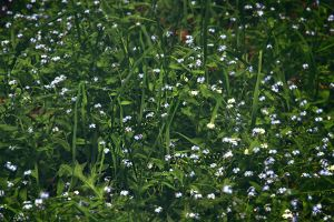 Little blue and white flowers stock by CathleenTarawhiti