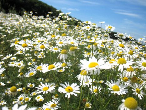 Field of daisies by Kasiowo